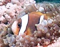 Clownfish like this can be seen both snorkelling and diving in Watamu, Kenya.
