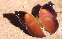 Specialist travel, like butterfly  safaris in Kenya.