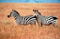 Zebra on the plains, Tsavo East, Kenya.